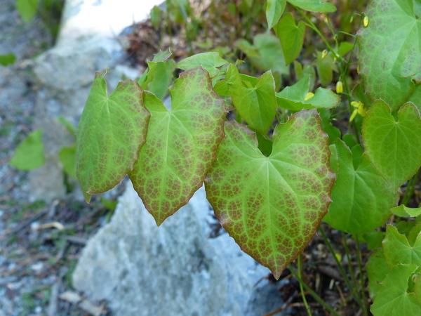 Epimedium perralderianum Coss.