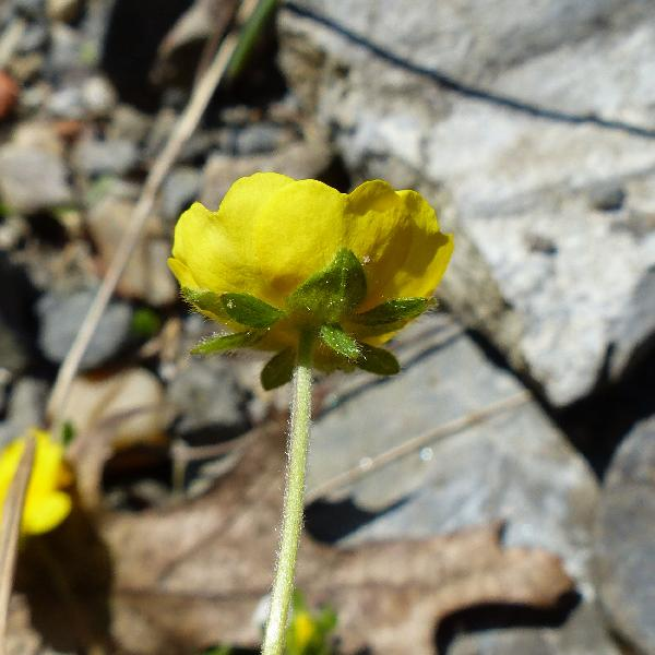Potentilla crantzii (Crantz) Beck ex Fritsch subsp. crantzii