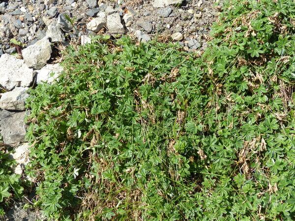 Alchemilla hoppeana (Rchb.) Dalla Torre