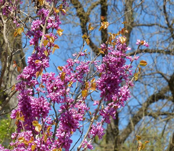 Cercis chinensis Bunge