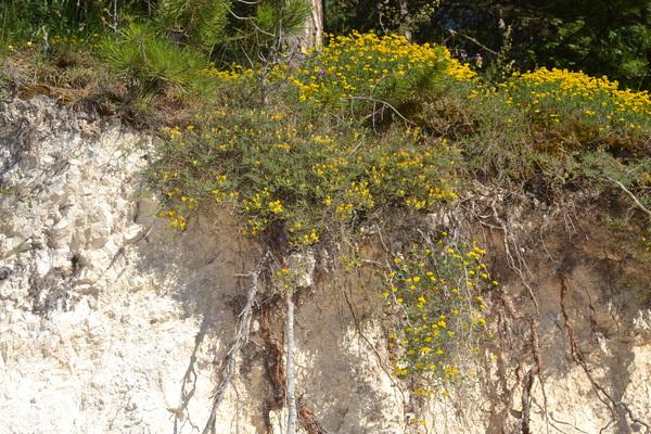 Genista pulchella Vis. subsp. aquilana F.Conti & Manzi