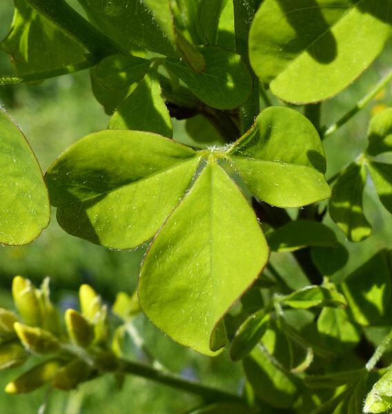 Petteria ramentacea (Sieber) C. Presl