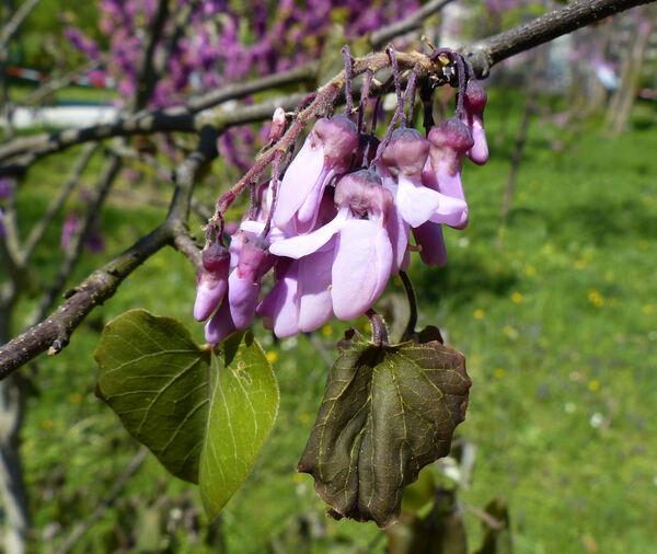 Cercis racemosa Oliv.