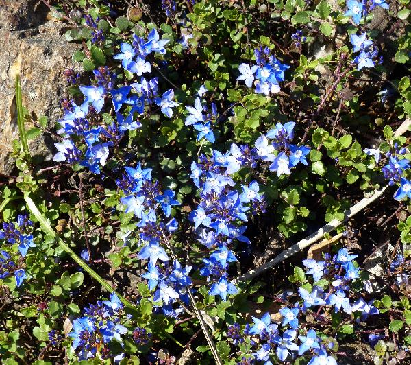 Veronica liwanensis C. Koch