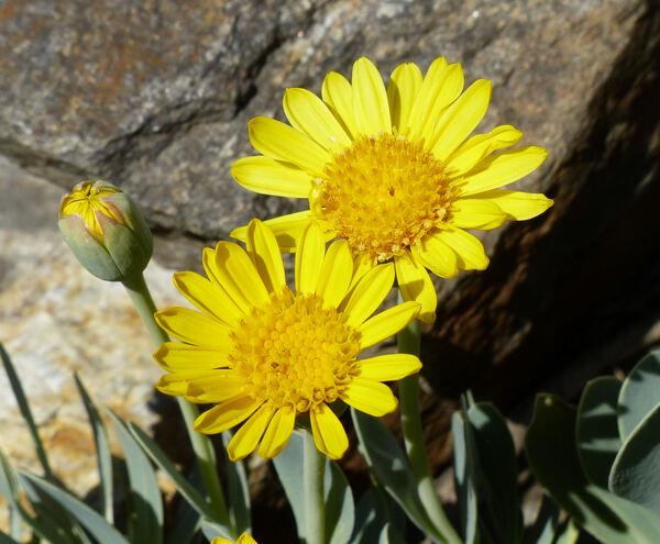 Hertia cheirifolia (L.) Kuntze