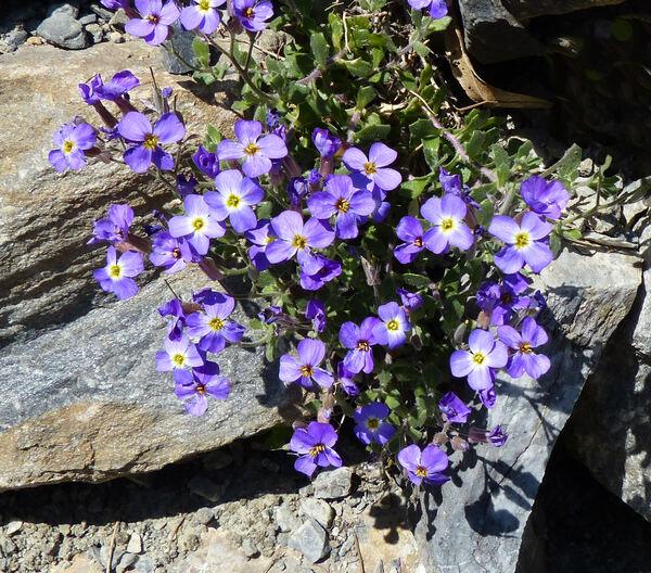 Aubrieta columnae Guss. subsp. columnae