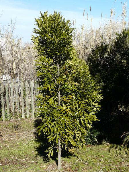Stenocarpus sinuatus (Loudon) Endl.