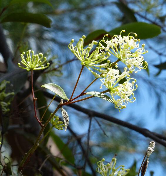 Stenocarpus salignus R.Br.