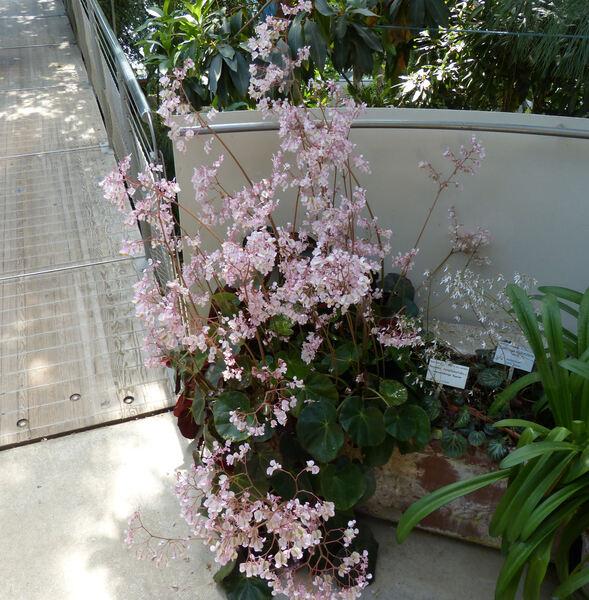 Begonia nymphaeifolia T.T. Yu