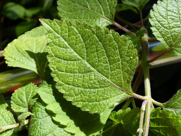 Plectranthus fruticosus L'Hér.