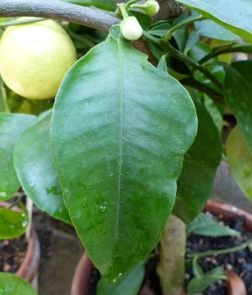 Citrus x meyeri Yu.Tanaka