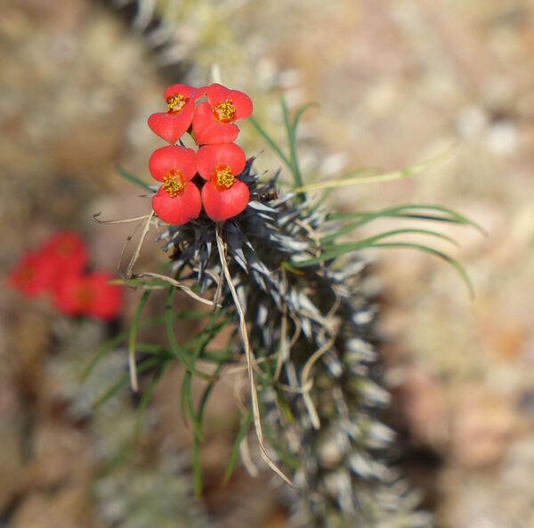Euphorbia gottlebei W. Rauh
