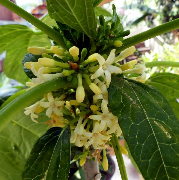 Vasconcellea pubescens A. DC.