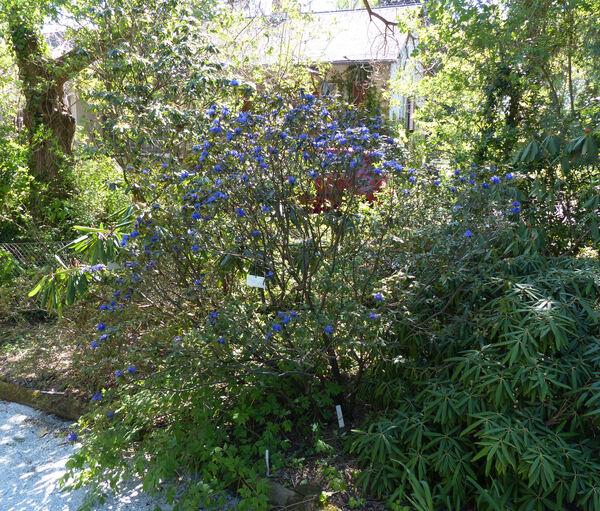 Rhododendron russatum Balf. f. & Forrest 'Gletschernacht'