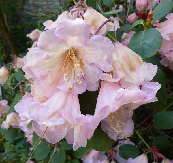 Rhododendron davidsonianum Rehder & E.H. Wilson