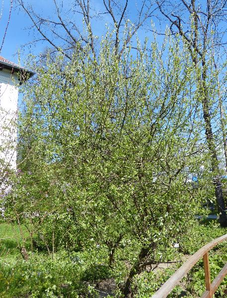 Salix cantabrica Rech. fil.
