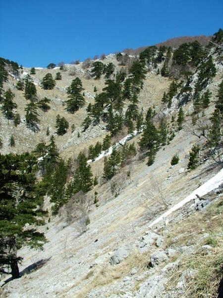 Pinus heldreichii Christ subsp. leucodermis (Antoine) E.Murray