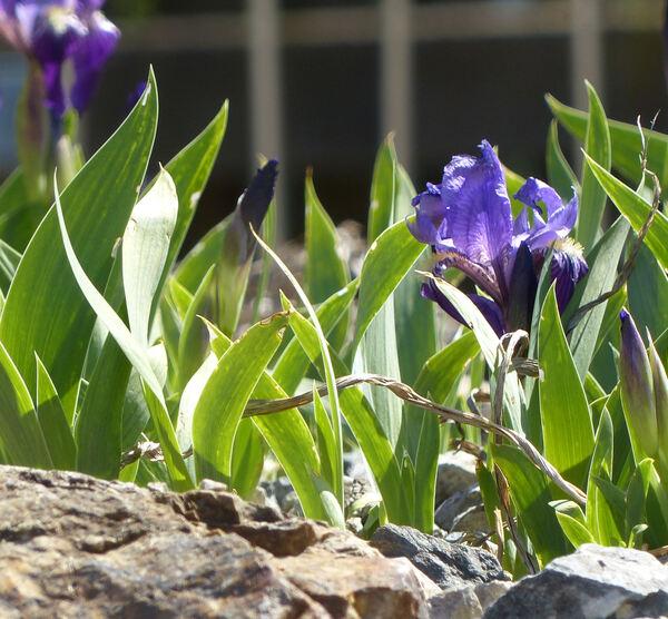 Iris subbiflora Brot.