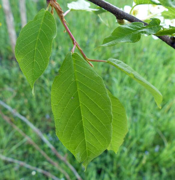 Prunus padus L.