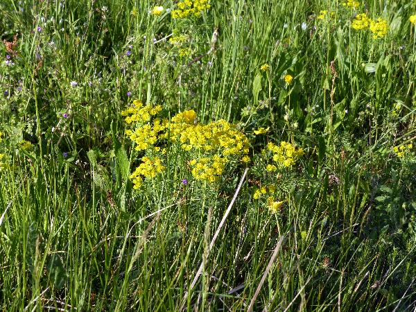 Euphorbia cyparissias L.