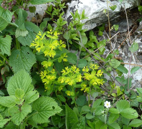 Euphorbia carniolica Jacq.