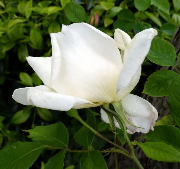 Rosa 'Belle Blanche'