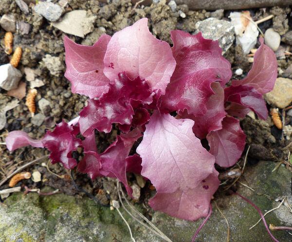 Lactuca sativa L. 'Rossa Romana'