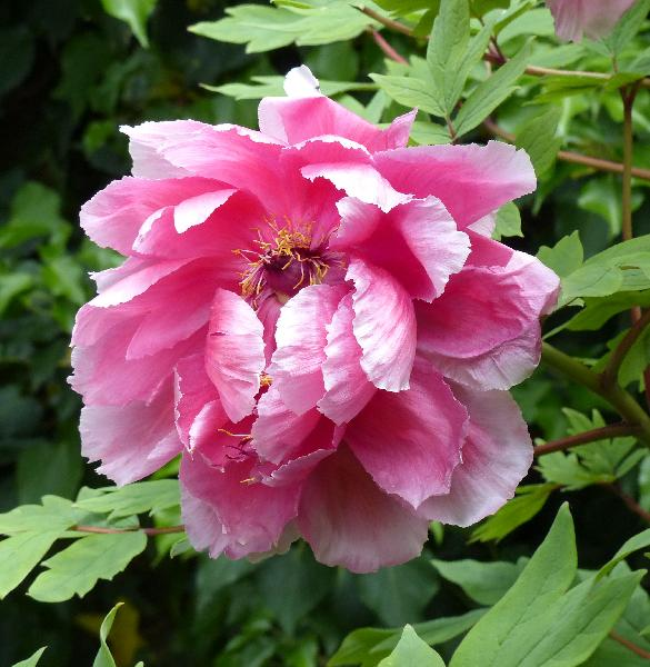 Paeonia suffruticosa Andrews 'Hana-kisoi'
