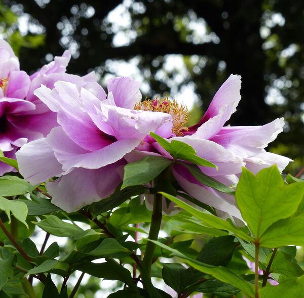 Paeonia 'Ohfujinishiki'