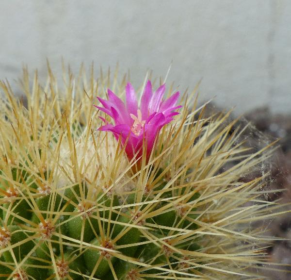 Mammillaria densispina (J.M. Coult.) Orcutt