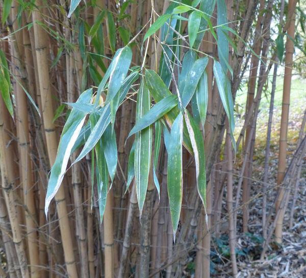 Phyllostachys bambusoides Siebold & Zucc. 'Allgold'