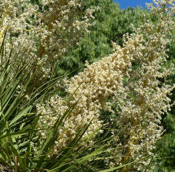 Nolina parviflora (Kunth) Hemsl.
