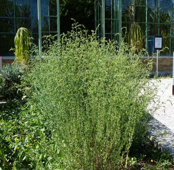 Asperula aristata L.f.