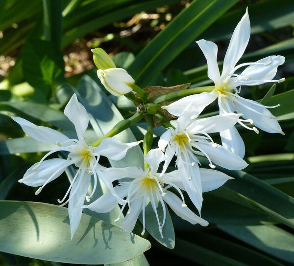 Pancratium illyricum L.