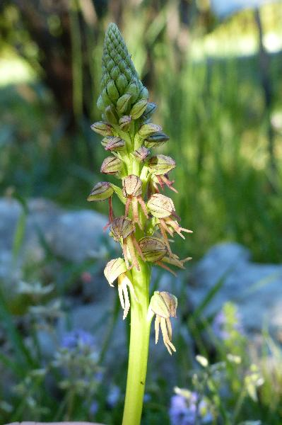 Orchis anthropophora (L.) All.