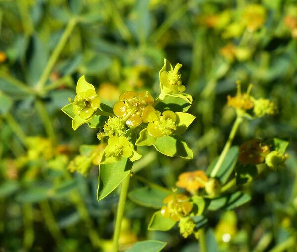 Euphorbia spinosa L. s.l.