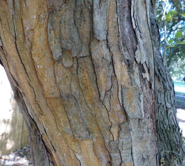 Maclura tricuspidata (Carrière) Bureau