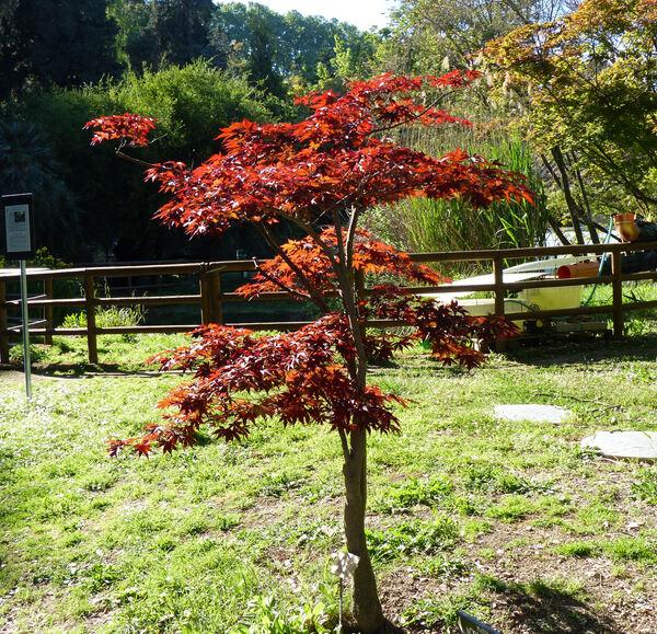 Acer palmatum Thunb. ex Murray 'Atropurpureum'