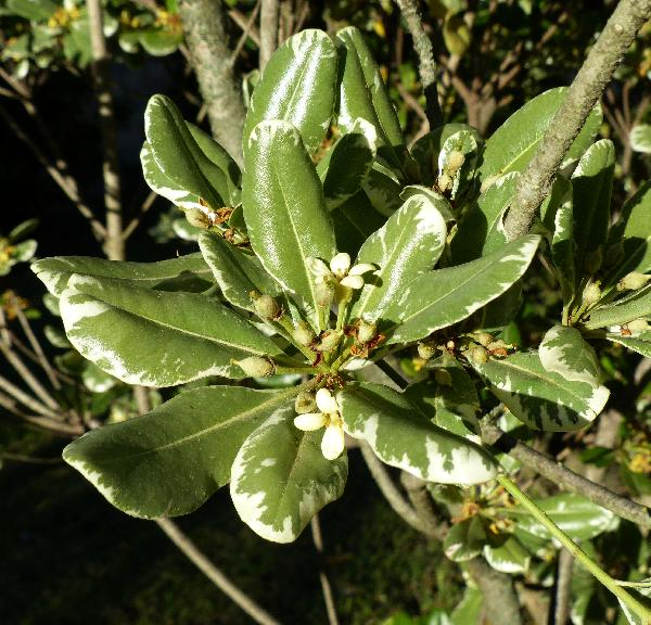 Pittosporum tobira (Thunb.) W.T. Aiton 'Nanum'