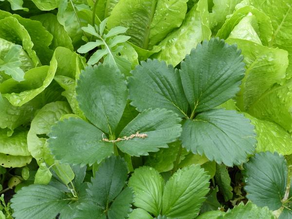Fragaria ananassa Rozier