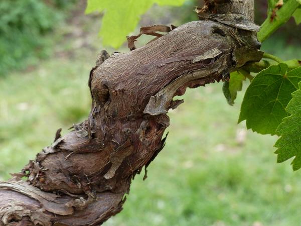 Vitis vinifera L. 'Fragola'