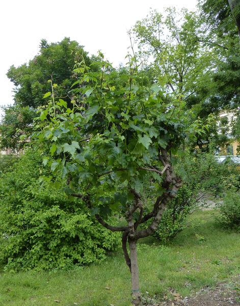 Vitis vinifera L. 'Lugliola'