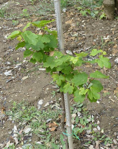 Vitis vinifera L. subsp. sylvestris (C.C. Gmel.) Hegi
