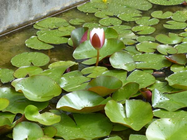 Nymphaea ×marliacea Lat.-Marl. 'Rosea'