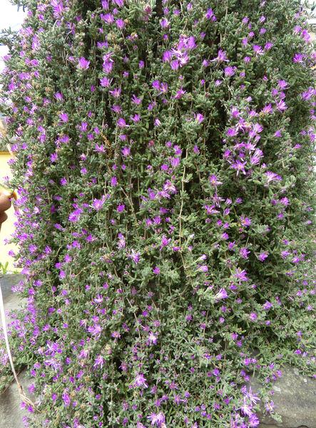 Drosanthemum candens (Haw.) Schwantes