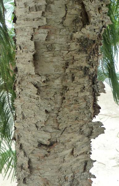 Araucaria columnaris (Forster) Hook.