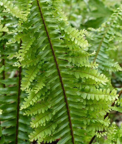 Nephrolepis exaltata (L.) Schott 'Plumosa'