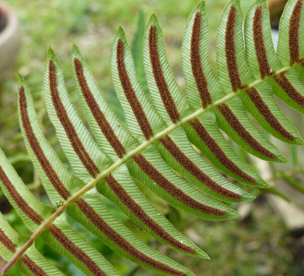 Blechnum occidentale L.