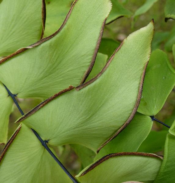 Adiantum macrophyllum Sw.
