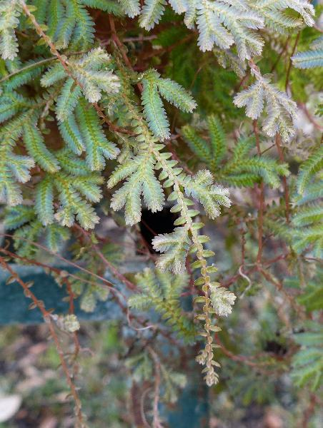 Selaginella uncinata (Desv. ex Poir.) Spring